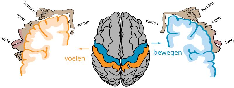Hersenen en de homunculi voor voelen en bewegen, door wisselwerking leren baby's bewegen